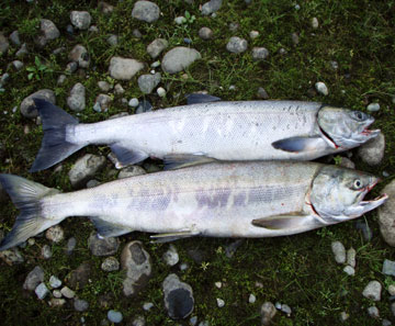 salmon fishing photos